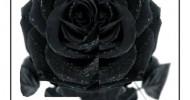 Philippe Parrot : Poème contemporain 13 : Rose noire
