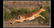 Philippe Parrot : Poème contemporain 63 : Impala