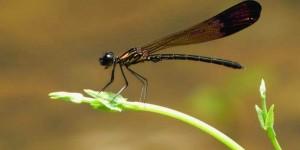 184 - La libellule