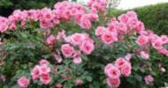 Philippe Parrot : Poème contemporain 197 : Pour toi, ces roses
