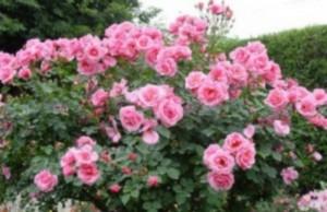 197 - Pour toi, ces roses...