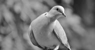 Philippe Parrot : Poème contemporain 326 : Émi et la colombe