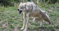 Philippe Parrot : Poème contemporain 447 : Le loup et l'amazone